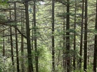 Forêt des Cèdres vers le hameau de Navacelles